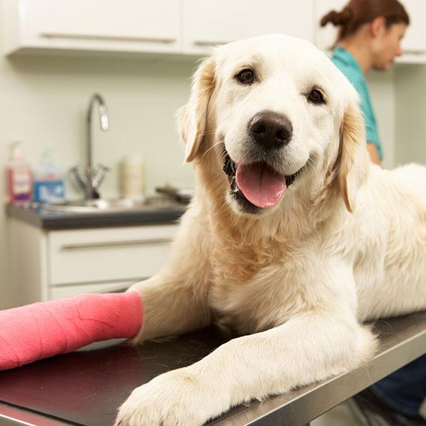 Labrador in a cast